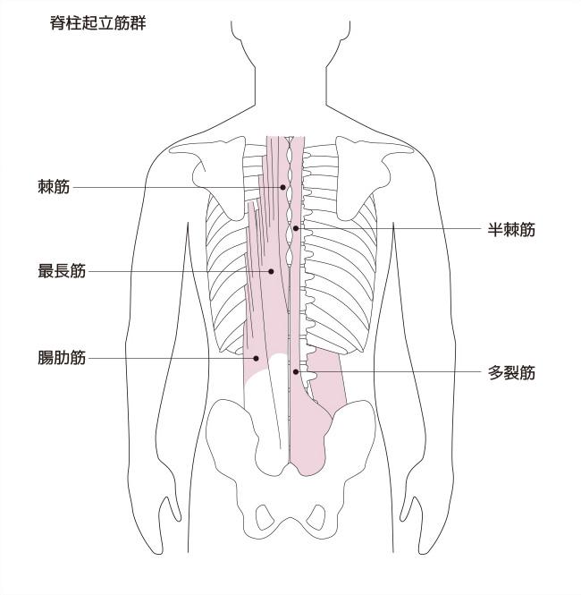 脊柱起立筋(せきちゅうきりつきん)